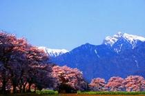 真原(さねはら)の桜並木