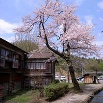 春の桜(例年の見頃は4月中旬頃)