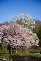 桜とこぶし