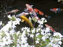 池の鯉と花