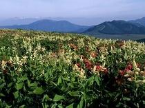 コバイケイソウが咲く霧ヶ峰