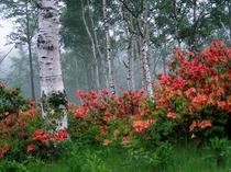 白樺林に咲くレンゲツツジ