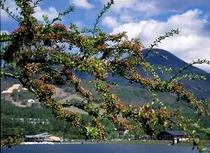 コナシ咲く女神湖