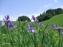 ゲレンデに咲く花々