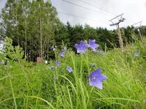 ゲレンデに咲く花々3