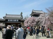 千本桜祭り