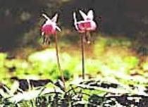 白馬村村花