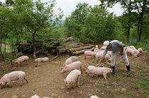 地元の山で放牧で育てる野豚。肉も脂身も旨みがあります