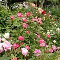 お庭のバラ2