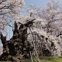 山高の神代桜プラン用