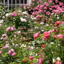 お庭のバラ3