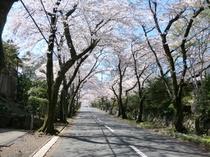 伊豆高原さくら並木