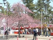 しらこ桜まつり