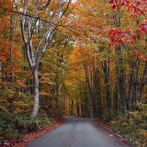 *目にも鮮やかな秋のブナ林