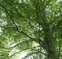 ブナの森林の新緑