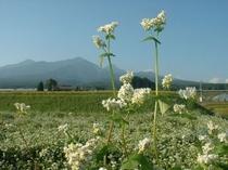 ソバの花と八ヶ岳