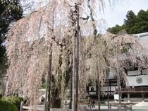 身延山樹齢400年しだれ桜