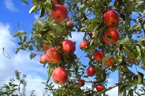 リンゴ狩り4x6