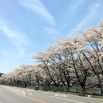 嬬恋三原の桜並木