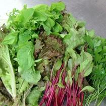 地物の水耕野菜 ルッコラ デトロイト グリーンスパン デトロイト イタリアンパセリ等の新鮮野菜を使用