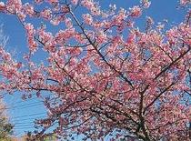 早春を彩る河津桜。2月初旬開花〜3月初旬まで楽しめる 宿より車で5分位で行けます。