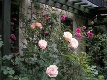 客室の壁際に咲くバラ(パレードとロココ)