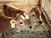 牧歌の里(ジャージー牛)