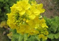 アラパパの畑の菜の花♪春に咲きます。