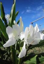 ウコンの花です。夏に咲くさわやかな花です!アラパパの畑で見れます。