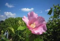 芙蓉の花・夏から秋にかけて前島にたくさん咲いてます♪