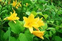 三国山に咲くニッコウキスゲ