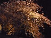 河津七滝 名木ライトアップ 上条の桜
