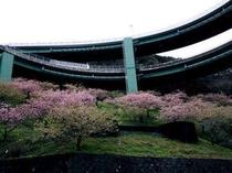 ループ橋の河津桜