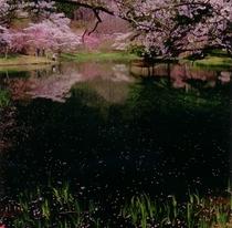 湖畔の桜  見頃は4月下旬から5月上旬。