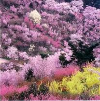 花見山 春 見頃は4月中旬から。