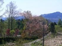 みきのや前の、山桜