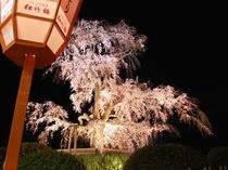円山公園の夜桜