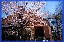 カナディアンの桜