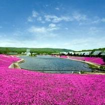 湖畔の芝桜