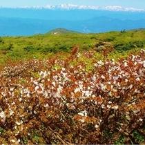 蔵王連峰五色岳、(1670m)の高峰桜が満開+お釜+青空+白い残雪が綺麗です。