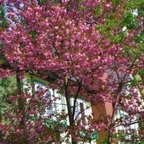 2013.05.16桜が今年も咲きました♪