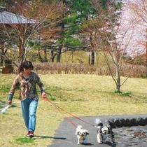 朝の散歩:蔵王連峰の桜と松川