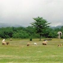 ハートランド牧場の羊たち