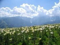 岩岳ユリ園