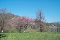 菅平ダム湖の桜はGWが見頃