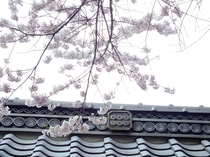 真田 長谷寺の桜と六文銭