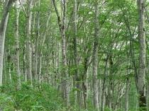 上の平高原のブナの原生林