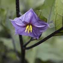 【自家農園】茄子の花