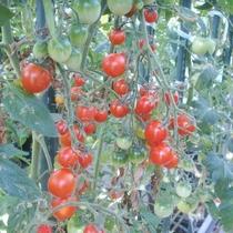 【自家農園】ミニトマト-ぺぺ-