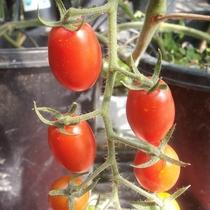 【自家農園】ミニトマト-あいこ-